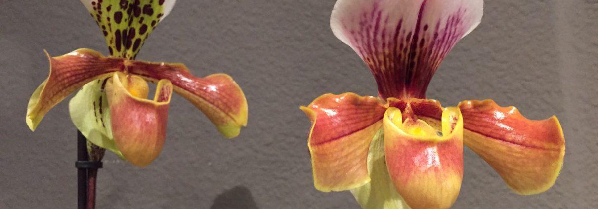 orquideas san valentin