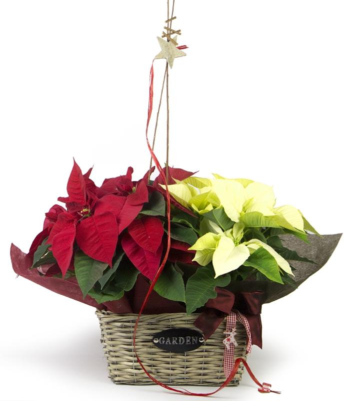 plantas de navidad a domicilio