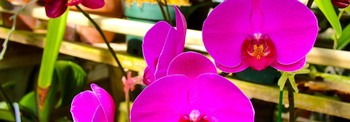 orquidea phalaenopsis rosa