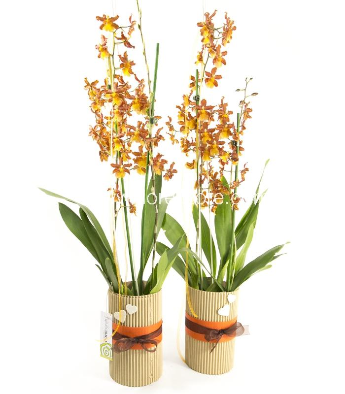 orquidea cambria naranja
