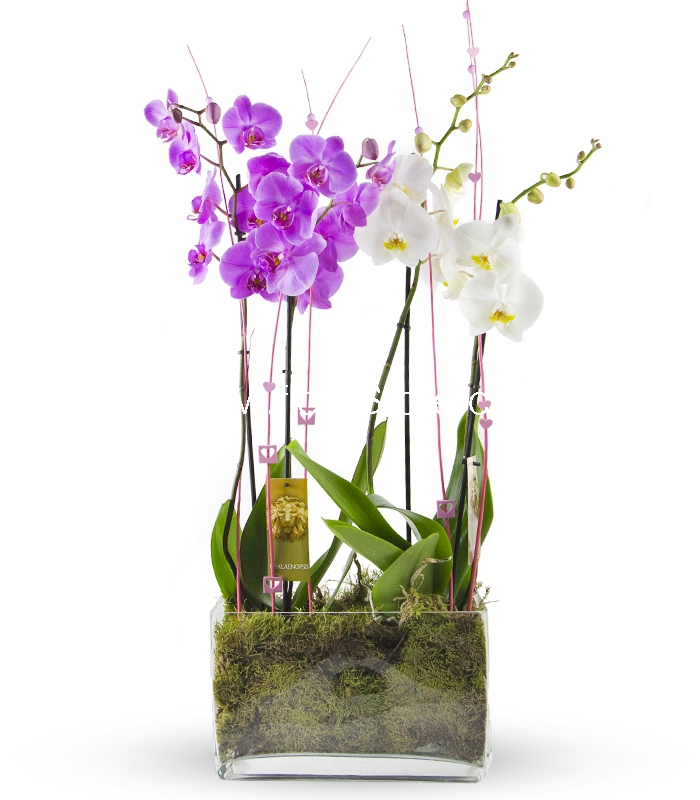 composicion orquidea phalaenopsis
