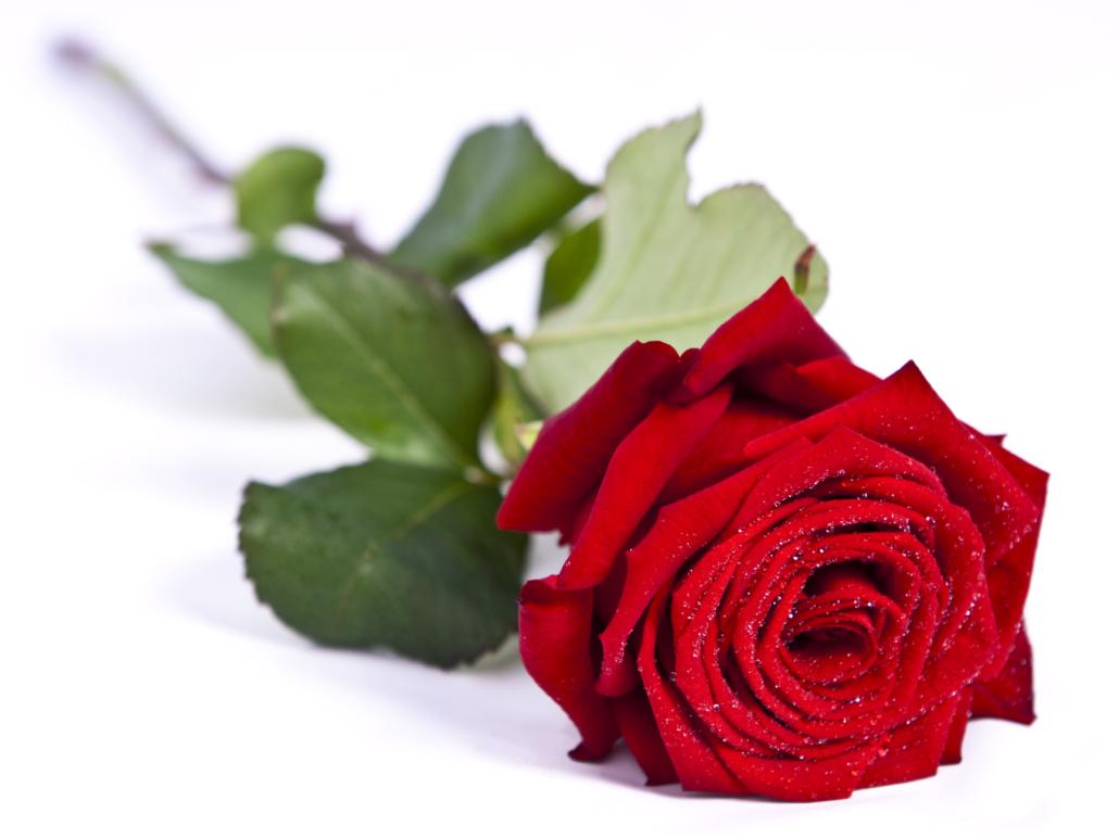 rosa san valentín