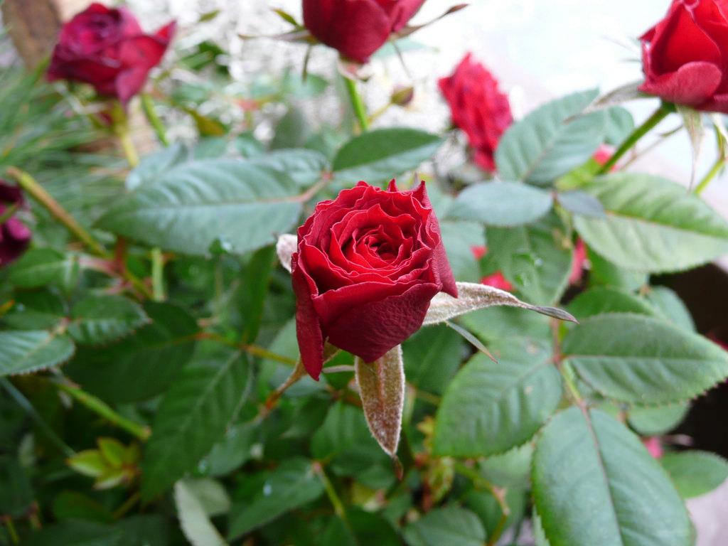 rosa pitimini